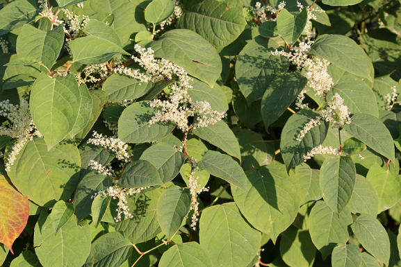 knotweed summer 12