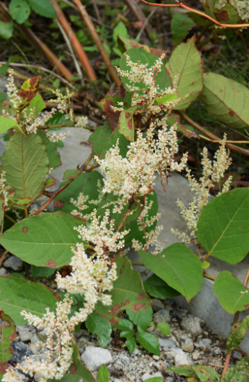 knotweed summer 2